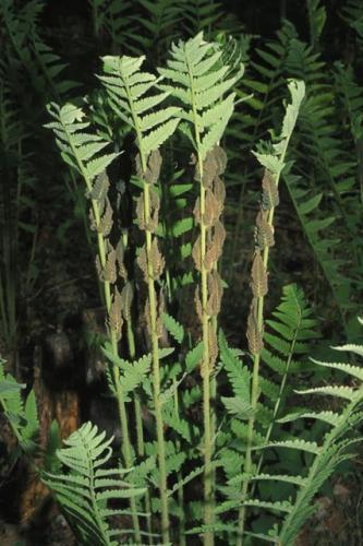 Osmunda Claytoniana
